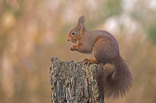 Eurasian Red Squirrel (Explored)