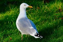 HNS_2672 Zilvermeeuw : Goeland argente : Larus argentatus : Silbermowe : Herring Gull