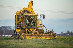 3U4A1475 (Bad-Duck) Tags: vinter mat ropa hst ker betor maskiner kvll skrd flt jordbruk grda lantbruk rstid livsmedel sockerbetor fltarbete livsmedelsproduktion betupptagare omstndigheter