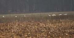 IMG_4666-1 Whooping Cranes (John Pohl2011) Tags: bird canon john waterfowl 100400mm wading pohl t4i 100400mmlens canont4i