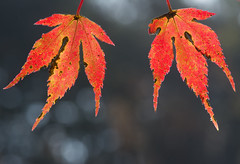 never too old to dance (mishko2007) Tags: korea maple 105mmf28 autumn