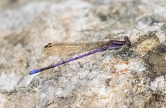 7K8A9826 (rpealit) Tags: scenery wildlife nature sparta mountain management area ryker lake male violet dancer damselfly