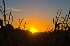 Corn (ramseybuckeye) Tags: corn cornfield field farm rutral subset tassels sky allen county ohio pentax art life