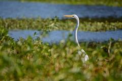 Hungry Egret (brev99) Tags: d7100 tamron70300vc highqualityanimals nature bokeh blur dxooptics8 cacorrection egret crescentpark tulsa pond marsh photoshopelements12