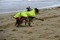 beach dog posse 03 (byronv2) Tags: edinburgh edimbourg portobello sea seaside shore beach scotland northsea coast coastal rnbforth firthofforth firth forth river riverforth street candid peoplewatching dog dogs greyhound