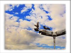 IMG_6167_edit (cnajhar) Tags: aves birds pombas pigeons