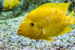 Amphilophus citrinellus (AquariumBlog.es) Tags: acuario aquarium peces fish pez marino saltwater water freshwater dulce agua corales payaso clown sepia acantharus pterois pomacanthus barcelona arrecife reef