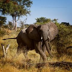 Untammed (Jose Antonio Pascoalinho) Tags: africa botswana leroulatau elephant mammal wildlife wilderness globalwarming animals nature nat life paquiderme safari safariphotography savannah bush biodiversity biosphere bio world travel travelphotography trees behavior capture wild zedith outdoor