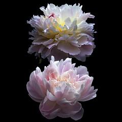 Peony Duo (Explore) (Pixel Fusion) Tags: peony flower flora nature macro nikon d600