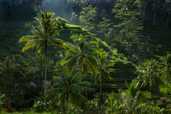 Ubud Rice Terraces (ben_leash) Tags: sony a77 bali ubud indonesia riceterrace ricefield green light agriculture landscape