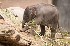 2016-10-27-11h32m52.BL7R3908 (A.J. Haverkamp) Tags: canonef100400mmf4556lisiiusmlens sanuk amsterdam noordholland netherlands zoo dierentuin httpwwwartisnl artis thenetherlands asiaticelephant dob17102016 pobamsterdamthenetherlands nl aziatischeolifant