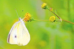 Small Cabbage White on Devil's Beggartick :  (Dakiny) Tags: 2016 autmn september japan kanagawa yokohama aoba ichigao outdoor nature field plant flower blossom devilsbeggartick bidensfrondosa yellow creature animal insect bug butterfly smallcabbagewhite smallwhite whitecabbagebutterfly cabbagebutterfly white macro bokeh nikon d7000 tamron 70300mm sp70300mmf456divcusd a005 modela005 nikonclubit