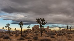 Low clouds over the high desert (Photosuze) Tags: joshuatree trees landscape california morning brush clouds gray desert