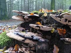 Autumn, Veluwe woods (Alta alatis patent) Tags: veluwe autumn woods mushroom
