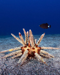 The Eagle has landed. (bodiver) Tags: hawaii sand urchin blue wideangle ocean fins