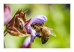 Busy Bee (red stilletto) Tags: bee flower flowers plant macro garden oceangrove bellarinepeninsula