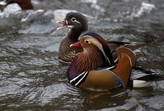 Couple de Canards Mandarins (jeanot94) Tags: aixgalericulata aix coupleofducksmandarins
