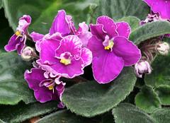 19-IMG_4747 (hemingwayfoto) Tags: berggartenhannover blhen blte blume flora floristik natur topfpflanze usambara usambaraveilchenorkhidnaia veilchen zierpflanze zuchtform