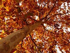 L'Arbo del Peneds (6) (calafellvalo) Tags: arbolarboarbospenedsotootardorautumnplatanerspalataneros otoo autumn fall automne herbst ocher reddle ocre ocker viedos vineyard weinberg vignoble rouge red calafellvalo madroo tardor