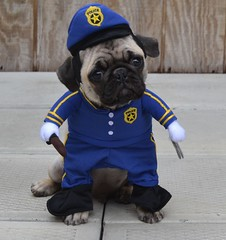 Boo The Policeman Cop Pug (DaPuglet) Tags: pug pugs dog dogs pet pets animal animals cop police policeman uniform costume halloween puppy puppies cute funny