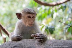 Toque Macaque, Ceylon kroonaap (Ger van Beek) Tags: ceylonkroonaap srilanka vakantie zoogdieren