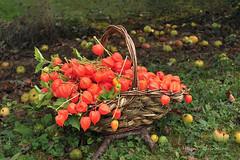 La rcolte des physalis (Hlne Quintaine) Tags: physalis fleur fruit jardin automne octobre amourencage panier pomme herbe cration composition tige feuille lampion orange anse rotin