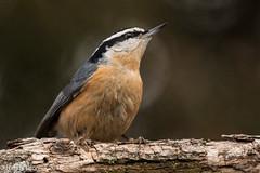 Red-breasted Nuthatch (rdroniuk) Tags: birds smallbirds passerines nuthatches redbreastednuthatch sittacanadensis oiseaux passereaux sittelleàpoitrinerousse