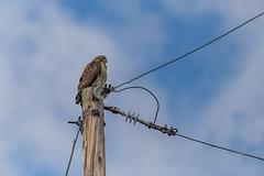 Keeping Watch (hey its k) Tags: birds cherryhillrbg hamilton nature burlington ontario canada ca img8970e canon6d tamron 150600mm hawk