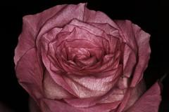 Pink Rose Against Black Velvetness (OrlandParkBirdieGirl) Tags: macro study rose unfolding flower blossom pink flickr lounge week 2 pastel colours
