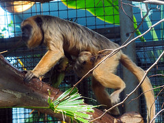 Cleveland Metroparks Zoo 06-05-2014 - Black Howler Monkey 1 (David441491) Tags: clevelandmetroparkszoo blackhowlermonkey monkey baby