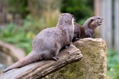 Otters (John P Norton) Tags: butterflyhouse fauna otter copyright2016 f20 fujifilmxt2 1500sec xf90mmf2rlmwr focallength90mm manual