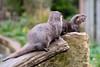 Otters (John P Norton) Tags: butterflyhouse fauna otter copyright2016 f20 fujifilmxt2 1500sec xf90mmf2rlmwr focallength90mm manual