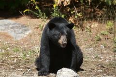 Hot bear (Seventh day photography.ca) Tags: blackbear bear animal mammal wildanimal wildlife predator ontario canada summer