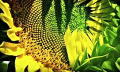 SUNFLOWER AWAKENING -  Shy (mdprovost ~ Prosper in 2017) Tags: flower sun beginning dawn sunflower fleur yellow brown seeds plant green birth blooming macro helianthusannuus gracefilledmoments