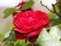 Róża Rose Rosas Roses róże