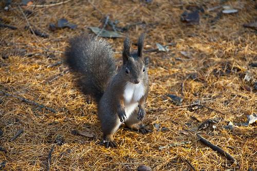 squirrel - wiewiórka