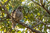 Barking Owl (oz-birds) Tags: barkingowl birds farm brooloo queensland australia au