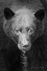 ND5_8893 Black Bear canvas print (Wayne Duke 76) Tags: black bear canvas print