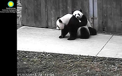 I wuv you so much, mama.  ../af501.png (heights.18145) Tags: smithsoniansnationalzoo beibei corner panda bear pandabear cuteanimals bearcubs motheranimals ccncby meixiang hugs