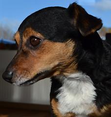 Dory (conall..) Tags: dogs061116 jack russel terrier dog portrait inside daylight brushstroke pallete knife kind gentle intelligent dory