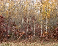 Autumn Aspen (Mark Cassino) Tags: autumn fallcolor takumar105mmf24 pentax6x7 newportra400