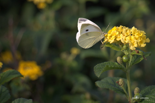 A cabbage white butterfly on a yellow lantana