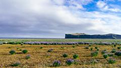 Lavender field with mountain on horizon / Lavendelfeld mit Berg am Horizont
