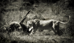 All the brutality of wildlife (Jose Antonio Pascoalinho) Tags: africa tanzania ngorongoro crater kill wildlife wilderness wild brutal lioness wildbeest chase feline feeding nature nat life safari animals safariphotography savannah moments predator prey death cruel surveillance biodiversity biosphere outdoor capture zedith monochrome blackandwhite