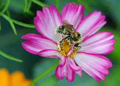 Bumblebee on Cosmos (ctberney) Tags: bumblebee cosmos insect flower colorful garden