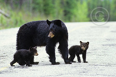 blackBear (corymurphy) Tags: britishcolumbia bc canada blackbear mammal animal wildlife horizontal forest bear bears cub cubs young offspring baby babies pair twins cute family mother mom road crossing
