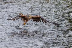 Red Kite at Nant-yr-Arian (Explore) (babs pix) Tags: redkites nantyrarian ceredigion birds