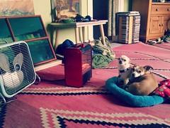 basking in the spaceheater (EllenJo) Tags: hazel simon livingroom spaceheater ellenjo ellenjoroberts dogs pets 2016
