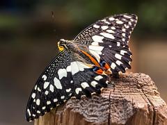 Papilio demoleus (novofotoo) Tags: botanischergarten butterfly chequeredswallowtail falter insekten lepidoptera limettenschwalbenschwanz natur papiliodemoleus reise ritterfalter schmetterling tagfalter tiere animals botanicalgarden insects