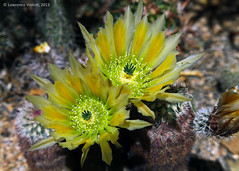 IMG_1832a copy (l.e.violett) Tags: cactus flowering cultivated echinocereus daysacanthus